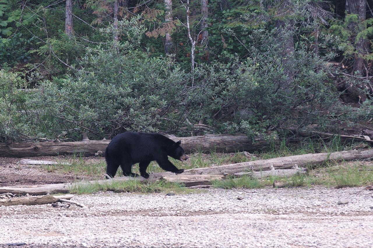 Blue River, Bear, Canada