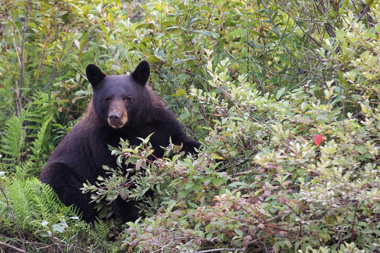 Bleu River, Canada, Black-Bear