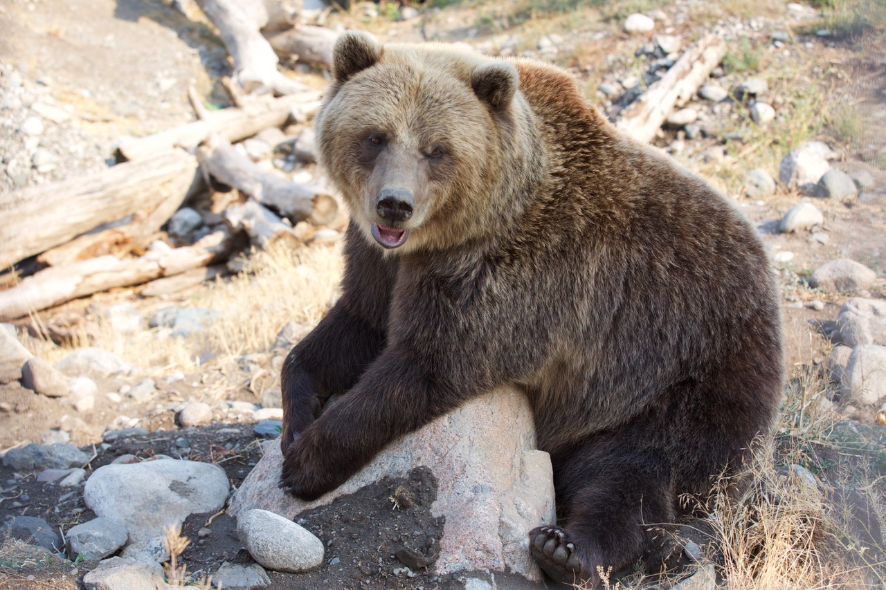 Grizzly, Kamloops, Canada