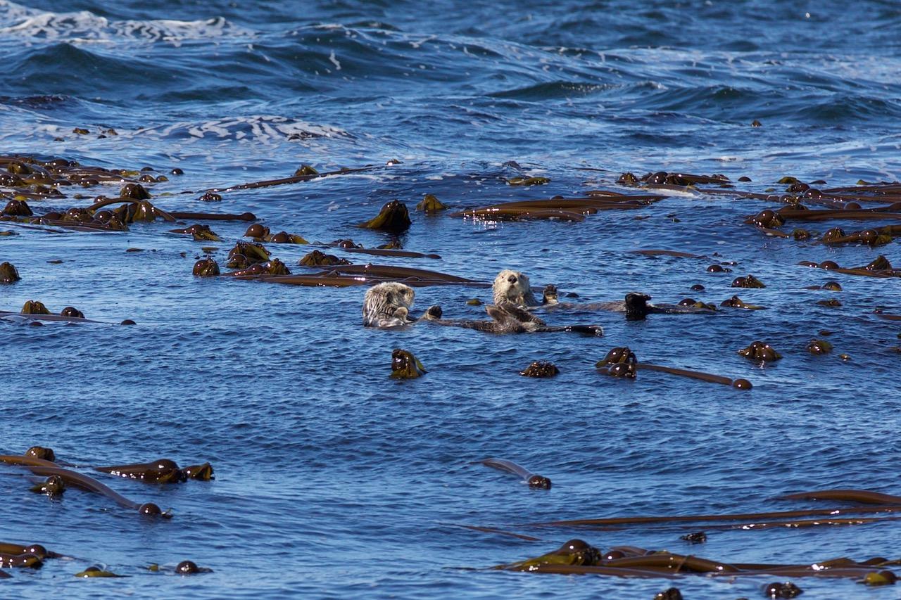 Sea Otters, Tofino, Vancouver Island