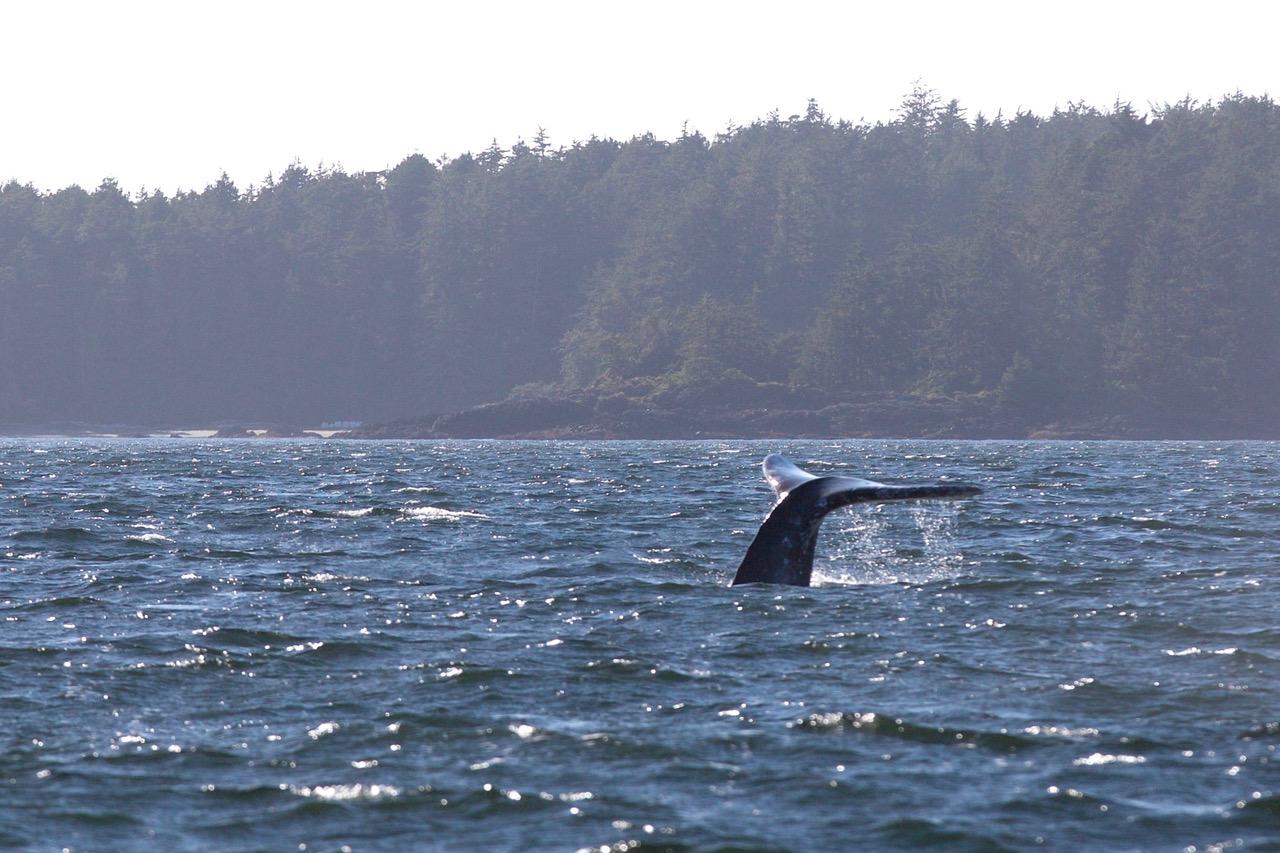 Gray Whale Tale, Vargas Island Provincial Park, Vancouver Island