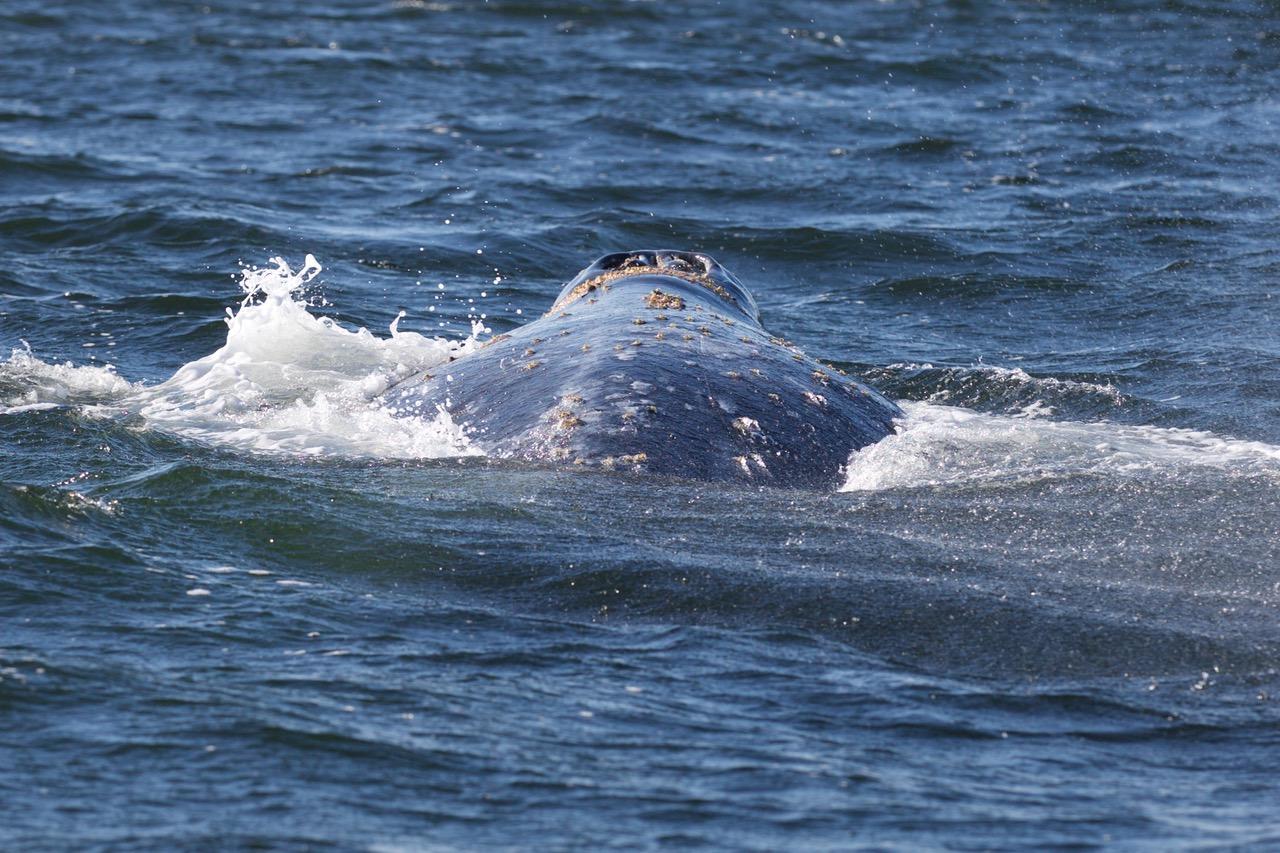 Gray Whale, Vargas Island Provincial Park, Vancouver Island